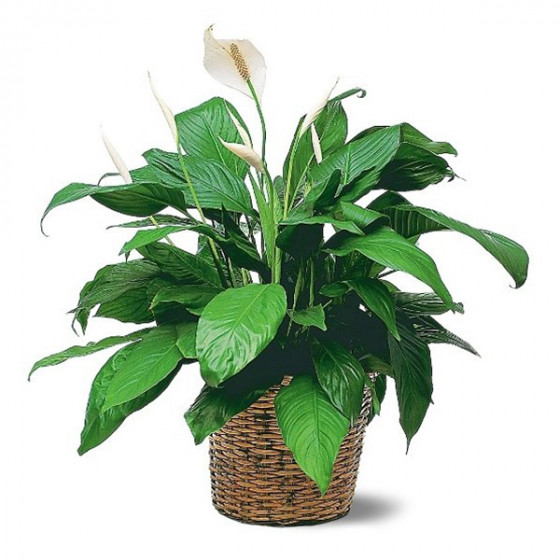 Peace Lily-6'